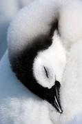 Sleeping Penguin Chick