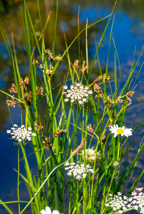 Marginal plants in pond in  garden, The Cotswolds, England, United Kingdom