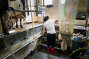 Several thousand Mexican migrant workers work on Vermont dairy farms, providing crucial labor for Vermont dairy farmers. A mother milks cows next to her baby wrapped in mosquito netting.