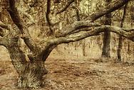 Interpretive landscape of live oak and pine forest in Outer Banks