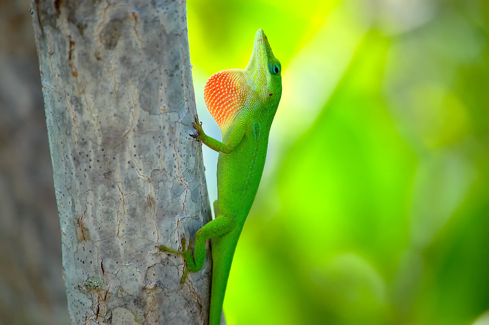 Intensely colorful green anole showing off his red dewlap on Key Largo, Florida.