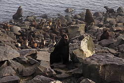 USA ALASKA ST PAUL ISLAND 9JUL12 - Northern Fur Seals (Callrhinus ursinus) breed at the Reef Point rookery on the island of St. Paul in the Bering Sea, Alaska.....Photo by Jiri Rezac / Greenpeace....© Jiri Rezac / Greenpeace