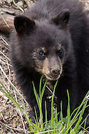Black bears cubs are voracious eaters. They're not particular about their diet and will eat fish, meat, grasses, nuts, berries and almost any type of root or tuber they can dig up.