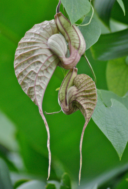 Aristolochia manshuriensis, Costa Rica Cloud Forest