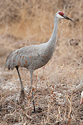 Bosque del Apache National Wildlife Refuge, New Mexico, a Sandhill Crane (Grus canadensis)