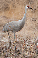 Bosque del Apache National Wildlife Refuge, New Mexico, a Sandhill Crane (Grus canadensis)