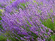 Lavender Bloom at 123 Farms
