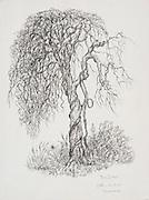 "Laki Senanayake.  'Tree and Creeper'<br /> 15"" x 11""  Ink on Paper.<br />  Diyabubula.<br /> <br /> sold to Robert Syfret"