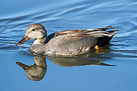 American Black Duck (Anas rubripes) swimming in the lake, Annapolis Royal Marsh, French Basin trail, Annapolis Royal, Nova Scotia, Canada,