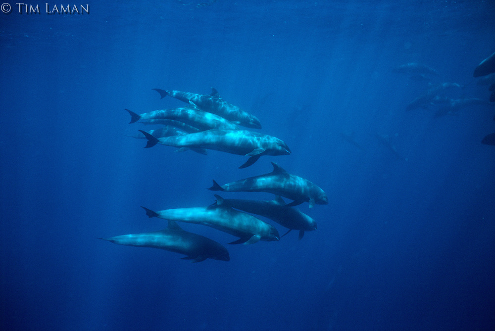 Melon-headed Whales (Peponocephala electra).  Nuku Hiva Island, Marquesas Islands, French Polynesia