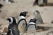 Brillenpinguin (Spheniscus demersus) am Boulder?s Beach.  Der Strand von Boulder?s Beach kann auch von Besuchern zum Schwimmen genutzt werden. Am Boulder?s Beach befindet sich ein Besucherzentrum, über das man in den Nationalpark Boulder?s gelangt. Zwei Stege, die die dortige Brillenpinguinkolonie vor den Besuchern schützen, führen zum Strand von Foxy Beach. Dort leben ca. 3000 Brillenpinguine.    The African Penguin (Spheniscus demersus), also known as the Black-footed Penguin (and formerly as the Jackass Penguin), is found on the south-western coast of Africa..Boulders Beach is a tourist attraction, for the beach, swimming and the penguins. The penguins will allow people to approach them as close as a meter (three ft).