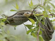 Eastern Garter Snakes mating, Thamnophis sirtalis sirtalis, Ottawa NWR, Ohio