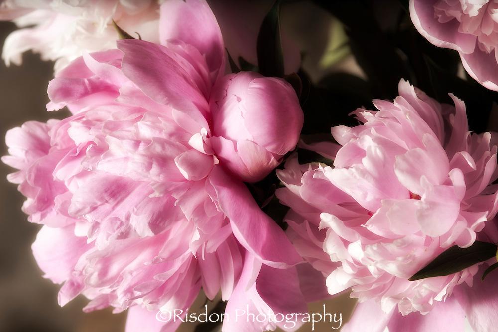 Macro photography of peony flower