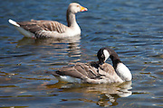Graylag goose, Anser anser, and Canada Goose, Branta canadensis, on Tarn Hows lake, the Lake District National Park, Cumbria, UK