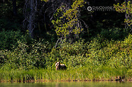 Grizzly bear along Fishercap Lake in Glacier National Park, Montana, USA