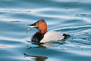 Canvasback, Aythya valisineria, male, feeding on Gizzard Shad, Dorosoma cepedianum, Detroit River, Ontario, Canada