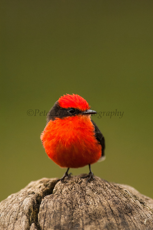 Vermilion Flycatcher (Pyrocephalus rubinus)<br /> Highlands, Isabela Island, GALAPAGOS ISLANDS<br /> ECUADOR.  South America
