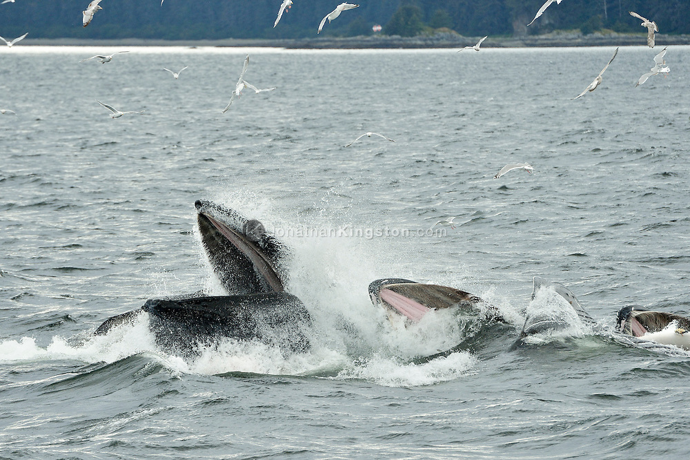 Humpback whales bubble net feeding in the waters near Catherine Island, Alaska.