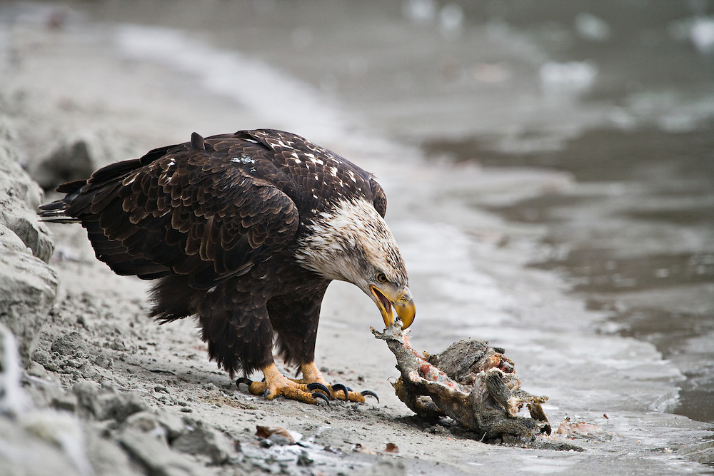 Bald Eagle feasts on salmon scraps in Chilkat Bald Eagle Preserve, Haines, Alaska. Southeast. Winter. Morning.
