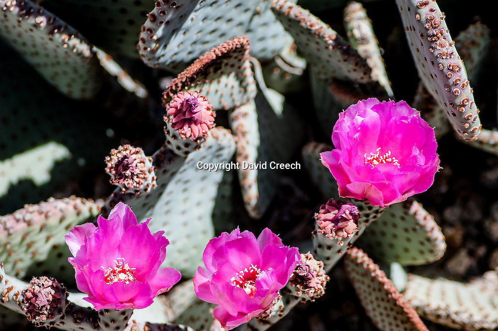 Purple Prickly Pear (Opuntia Violacea v. Santa-Rita)