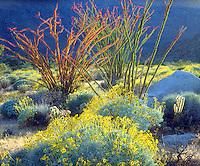 I wanted a vibrant California desert image so I used backlight to photograph blooming ocotillo plants and brittlebush in Anza Borrego Desert State Park
