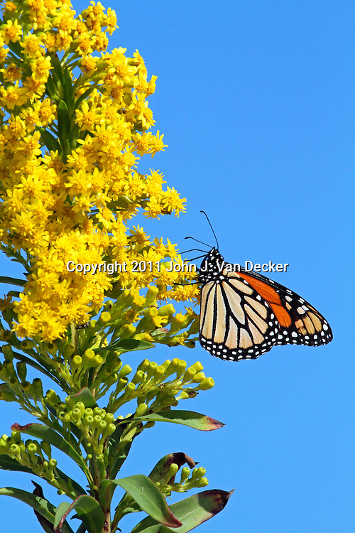 A Monarch Butterfly, Danaus plexippus, with wings folded feeding on Seaside Goldenrod, Solidago sempervirens. Lavalette, New Jersey, USA. During the fall migration to Mexico, many Monarchs hug the eastern seaboard, the Atlantic Flyway, feeding on the Goldenrod plant.