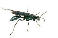 Blue Mud Wasp (Chalybion californicum)<br /> United States: Alabama: Tuscaloosa Co.<br /> Tulip Tree Springs off Echola Rd.; Elrod<br /> 15-Jun-2017<br /> J.C. Abbott #2960