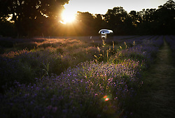 © Licensed to London News Pictures. 31/07/2020. Banstead, UK. Sunrise illuminates the lavender at Mayfield Lavender Farm in Banstead, Surrey. High temperatures and sunshine are expected in most of the UK today. Photo credit: Peter Macdiarmid/LNP