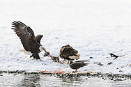 Bald Eagles (Haliaeetus leucocephalus) in a tug of war over the same salmon scraps along the Chilkat River in the Chilkat River Bald Eagle Preserve in Southeast Alaska. Winter. Afternoon.