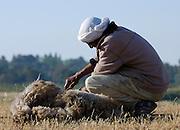 Israel, Negev Desert, bedouin man shearing sheep