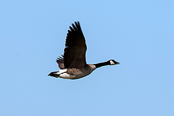 Canada Goose (Branta canadensis) in flight, Baylands Nature Preserve, Palo Alto, California, United States of America