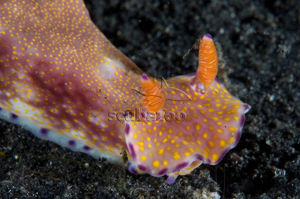 Nudibranch, Ceratosoma tenue on reef at Kungkungan Bay Resort, Lembeh Strait, Sulawesi, Indonesia.