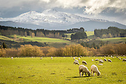 Autumn trees fade on the outskirts of Te Anau, as winter makes its dominant presence on the mountains.  Regardless of the season, sheep continue to graze on the green pastures in Southland, New Zealand