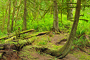 Rainforest in Cliff Gilker Park , Roberts Creek,, British Columbia, Canada