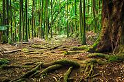 Palm forest on Onomea Bay, Hamakua Coast, The Big Island, Hawaii USA