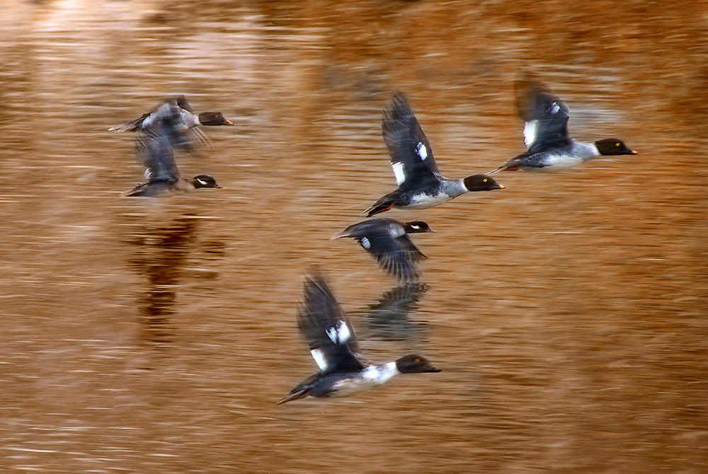 Buffelheads and Golden Eyes in Flight. Fine Art Photography. Arkansas River. Colorado. USA.<br /> <br /> AVAILABLE AS:<br /> <br /> Size 20&rdquo; x 16&rdquo; (50.8cm x 40.6cm approx)*<br /> Edition of ONLY 100 at this size.<br /> US$350 + shipping<br /> <br /> Hand printed in Taos, New Mexico, USA by Taos Print and Photography Services using archival inks and fine art paper. signed and numbered by hand.<br /> <br /> Contact jim@jimodonnellphotography.com to order