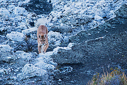 A female puma (Puma con color) also known as a mountain lion or cougar, walking on stromolite rock along a clear blue lake, Torres del Paine, Chile, South America