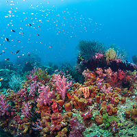 Reef scene at Leopard Reef, Sabah, Borneo, East Malaysia.