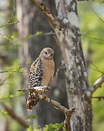Red-shouldered hawk hunting from high perch in wet cypress forest in Big Cypress National Preserve, © 2007 David A. Ponton