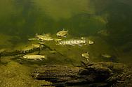 Brook Trout<br /> <br /> Viktor Vrbovsky/Engbretson Underwater Photography