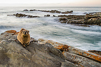 A Rock Hyrax sits motionless as it gathers the early morning rays of the sun along the coastline. Tsitsikamma Marine Protected Area, Western Cape, South Africa.