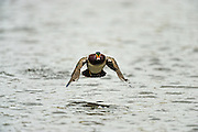 Drake wood duck flying