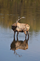 Rocky Mountain bull elk (cervus elaphus) scratching a itch in a lake during the rutting season.  Colorado