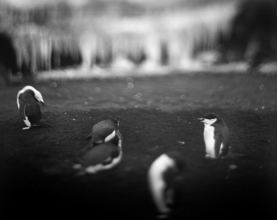 Antarctica, Blurred black and white image of Chinstrap Penguins standing on black sand beach at Bailey Head on Deception Island in the South Shetlands