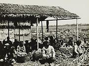 Kapplaats van rietplantjes op de suikerfabriek Petaroekan bij Pemalang