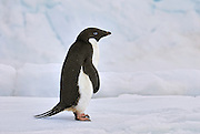 Adelie penguin stands near a crevasse, a crack in the ice on its way back to the nest.