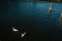 ANGUILLARA SABAZIA (LAKE BRACCIANO), ITALY - 26 JULY 2017: Swans are seen here in Lake Bracciano, whose level has dropped more than 1,50 meters recently,  in Anguillara Sabazia (Lake Bracciano), Italy, on July 26th 2017.<br /> <br /> Lake Bracciano provides eight percent of Rome's water and has sunk about 1.5 meters<br /> <br /> A severe drought and sweltering temperatures have led Rome city officials to consider a potential rationing of drinking water for eight hours a day for a million and a half Rome residents. The water crisis has become yet another sign of man being at the mercy of an increasingly extreme climate, but also of once mighty Rome's political impotence, managerial ineptitude and overall decline.