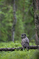 Great grey owl (Strix nebulosa) perched in boreal forest, Oulu, Finland.