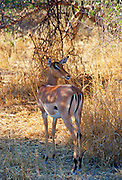 Impala looking over its shoulder watching for predators at Moremi National Park, Botswana