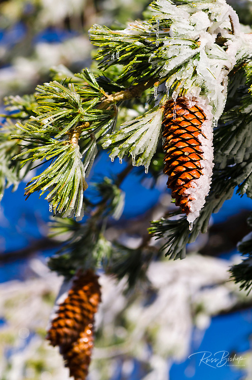 Rime ice on pine cones and branches, San Bernardino National Forest, California USA